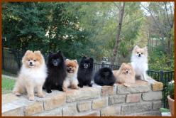 Recycled Poms - Helping those that cannot help themselves.  I love these little fluffs of fur.  What a beautiful photo of some well trained Pomeranians in search of a home!