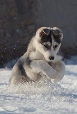 Snow Puppy. What a perfect shot ! He is on a  mission.  www.howtopotty-trainadog.com