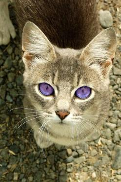 Spook- A massive and beautiful grey cat with big purple eyes. She is cunning and swift. Oh my....those eyes!!!!: Grey Cat, Beautiful Cat, Cats Eyes, Gray Cat, Beautiful Eyes, Purple Eye