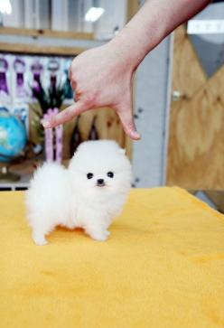 this amount of cuteness should be illegal.: Cutest Puppy, Teacup Pomeranian, Animals, Dogs, So Cute, Pets, Puppys, Puppy, Baby
