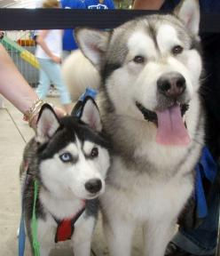This picture is a good illustration of the differences between Malamutes and Huskies.  Husky on the left, Malamute on the right.  Malamutes never have blue eyes.