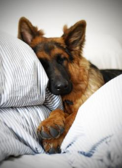(16) Tumblr: Germanshepherd, German Shepards, 3/4 Beds, Gsd S, German Shepherds, Shepherd Dogs, Gsds, Dog S, Sweet Dreams
