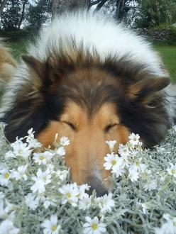 Ahhhh, the nice flowers, their so sweet I'm going to take a nap in them.: Rough Collie, Sweet, Collie Flowers, Dogs Shelties, Collie Dog, Collies Shelties, Chiens Toutous Dogs Doggies, Beautiful Collie