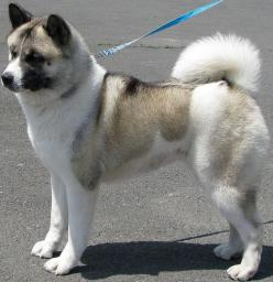 Akita. Finally I see one on here!  Besides being a different color mine has freakishly long legs compared to this one.: Puppy Akita, Akita Finally, Akita Bing, Akita Dogs, Japanese Akita, Dogs Akita, Beautiful Dogs