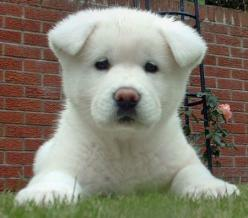 akita pupies are so cute                        Google Image Result for http://www.cutepuppiesforsale.net/wp-content/uloads/2010/05/Akita-Puppies-For-Sale.jpg: Akita Dogs, Akita S, White Akita, Adorable Animal