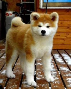 An Akita might be the meanest dog in the world, and it might turn mean in a snap of a second but just like pitbulls I love them!!!!!: Akita Dogs, Shiba Inu, Akita Inu, Akita S, Japanese Akita, Beautiful Dogs, Dog Breeds, Akitas Dog
