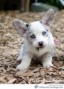 big eared, blue eyed • from  APlaceToLoveDogs.... • dog dogs puppy puppies cute doggy doggies adorable funny fun silly photography: Corgis, Welsh Corgi, Blue Merle Corgi, Corgi Puppies, Puppys, Corgi S, Puppy S