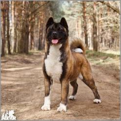 Bred to hunt bear and guard royalty, even the gentlest Akita should be treated as carefully as a 100lb weapon. Keep the safety on! Train her thoroughly and keep her leashed or in your house or fenced yard. If everyone did this, breed restrictions wouldn&#