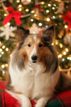 Christmas Sheltie. Shetland Sheepdog art portraits, photographs, information and just plain fun. Also see how artist Kline draws his dog art from only words at drawDOGS.com #drawDOGS http://drawdogs.com/product/dog-art/shetland-sheepdog-dog-portrait-by-st