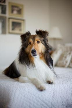 Collie..reminds me our beautiful Collie called Chris when I was a kid.Se saved our kids lives so many times, dragged off roads before cars hit us, parked herself under a window and barked till Mum saw me on a window sill of a 2 story house. She was an ama