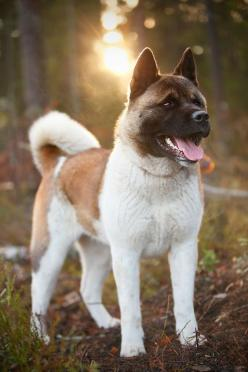 Dajm 02 by laxative #Akita #dogs: Laxative Dogs, Mydreamdog Akita, Akita Dogs, Animals Akitas, Guard Dog, Akitas Dog, Sweet Akitas