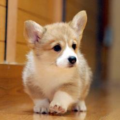Do not like dogs but this lil' corgi... they can be cute. Only pic of dog you'll see from me lol: Corgis, Welsh Corgi, Corgi Cuteness, Baby Corgi, Corgi Puppies, Corgi S, Corgi Cutie,  Pembroke Welsh Corgi
