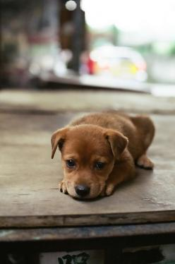 doesn't everyone want a puppy?: Doggie, Cute Puppies, Little Puppies, Sweet, Puppy Love, Puppy Dog Eyes, Sad Face, So Sad, Puppy Eyes