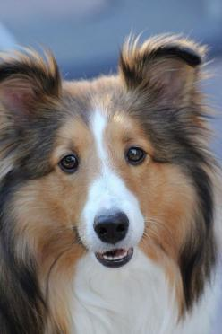 Flickr photo. Beautiful Sheltie... My favorite breed.  We have four but this is not one of ours.: Shetland Sheepdog, Sheltie Puppy, Sweet Sheltie, Shetland Sheepdog, Beautiful Sheltie,  Shetland Sheep Dog