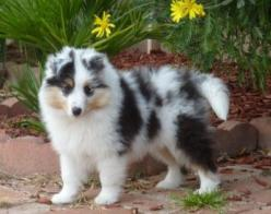Fuzz ball! BEAUTIFUL!! this dog probably is not a size 4. But is probably just as happy.: Beautiful Blue, Aka Sheltie, Collies Shelties, Shelties Puppies, Ball Beautiful, Sheepdogs Shelties, Beautiful Sheltie
