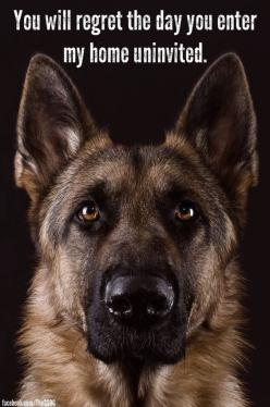 German Shepherds laugh's ... lol: German Shepards, German Shepherd Dog, German Sheperd, Shepherd Dogs, Funny German Shepherd, Guard Dog, Gsd, German Shephard