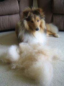 How to groom a Shetland Sheepdog.  I can usually brush out enough hair to make another dog.: Grooming Shelties, Sheltie Grooming, Sheltie S, Shetland Sheepdog, Sheepdog Grooming, Groom Shelties, Sheltie Undercoat