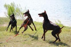 How to Train a Doberman Pinscher – Rules That Apply: Doberman Puppy Training, Doberman Pinscher Puppy, Doberman Training, Doberman Dogs, Dobermann Puppy, Baby Doberman, Doberman Pinscher1 Jpg 726, Doberman Pinscher Training