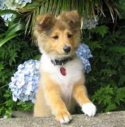 Like Pavlov's Dogs, to reinforce the Sheltie smile, you need to repeatedly reward the behavior: a belly rub, a dog treat, or a nice pat on the head.: Sweetest Dogs, Sheltie Puppy, Sheltie Baby, Shetland Sheepdog, Sheltie Dogs, Shelties Puppy, Dogs Boy
