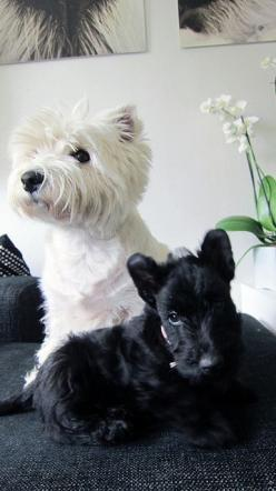 Love Westie & Scottie Dog puppies! Jo from AdorePurses.com: White Terrier, Scottie Dogs, Black And White, Black White, Westie Scottie, Scottie Puppy, West Highland Terrier