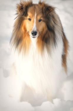 Miniature collie in the snow  Found on www.flickr.com via Tumblr: Rough Collie, Animals Dogs, Collie Dog, Shetland Sheepdog, Beautiful Sheltie, Beautiful Dogs, Beautiful Collie