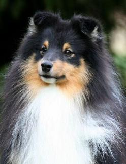 My puppy, Buster, looked just like this.  He will forever be in my memory.: Lovelly Shelties, Collie, Luv Shelties, Sheltie Love, Lovesome Sheltie, Beautiful Shelties, Sheltie Craze, Animal