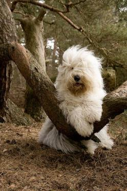 Old English Sheepdog--very cute, this is my favorite @ Elena Rivas: Sheep Dogs, Old Dogs, Animals Sheepdogs, Favorite Dogs, Sheepdog English, Old English Sheepdogs, Sheepdog Elena, Sheepdog Buckaroo S