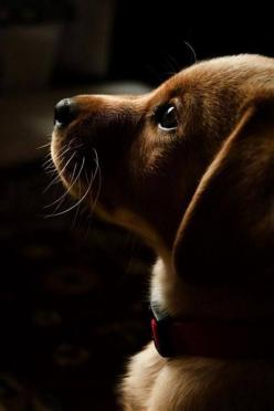 OMG...look at the precious #Doxie #puppy face! Click on the image to find cute Doxie gift <3: Doggie, Cute Puppies, Dachshund Puppies, Puppy Love, Puppy Face, Pet, Puppy Profile, Cute Dog