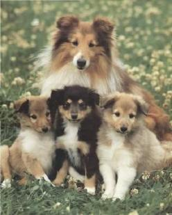 Sheltie and pups: Herding Dog, Amazing Dogs, Shetland Sheepdog, Sheltie Dogs, Dogs Puppies, Pupper Dogs