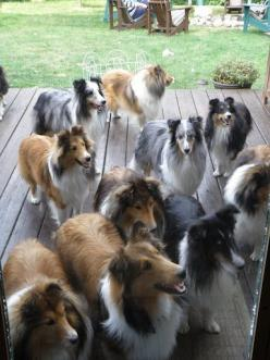 Sheltie Reunion:  they're all waiting for the door to open so that the party can begin LOL: Sheltie Reunion, Dogs Shelties, Amazing Dogs, Shetland Sheepdog, Sheltie Dogs, Family Reunions, Back Porches, Beautiful Shelties, Front Porches