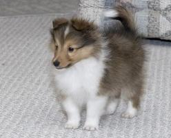Shetland Sheepdog: Puppy Sheltie, Sheltie Puppy, Shelties Sweet, Ani Collies Shelties Border, Sheltie Love, Things Shelties, Shetland Sheepdogs Puppies