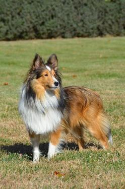Shetland Sheepdog #sheltie: Sheltie Reminds, Scottish Dogs, Sheltie S, Pets Dogs, Sheltie Dogs, Dogs Puppies, Shelties Shetland Sheepdogs
