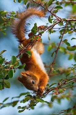 Spreading squirrel love. Rusty, the squirrel features in Clarissa Cartharns new romance, Affairs  Atonements. Available: https://www.amazon.com/dp/B00O9XPEIC: God S Creatures, Animal Kingdom, Adorable Animals, Red Squirrel, Squirrel S, Ecureuil