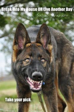 THAT IS NOT GERMAN SHEPHERDS! THEY ARE SUPER LOVING THEY ARE NOT LIKE THIS! IT IS ALL HOW YOU TRAIN THEM!: Little Things, Doge S, Belgian Malinois Training, Gsd S,  German Police Dog, Shepherd Dogs, Police Dogs, Dog Dental,  German Shepherd Dog