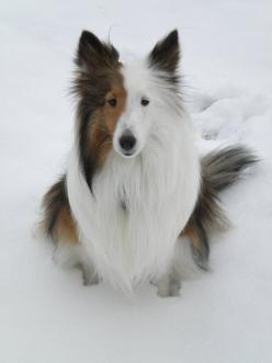 The Shetland Sheepdog is related to the Rough Collie, both descended from Border Collies that inhabited Scotland. The Border Collies were brought to the Scottish island of Shetland & crossed with the Icelandic Yakkin, a small dog. By 1700, the Sheltie