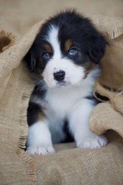 This little one makes me want a puppy!!: Australian Shepard, Cutest Puppy, Bernese Mountain Dog, Blue Eyes, Australian Shepherd Puppies, Cute Dog, Puppy S