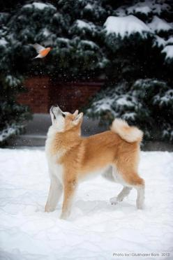 This Pin was discovered by Jordan. Discover (and save!) your own Pins on Pinterest.: Akita Dog, Flying Birds, Dog Shiba Inu, Akita Shiba, Cute Animals, Shiba Inu Puppy, Fast Friends, Shiba Akita, Fluffy Foxes