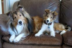 two pretty puppies!! Bisbee (L) and Prescott (R): Pet, Shetland Sheepdog, Sheltie Puppys