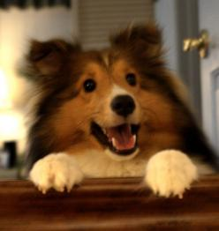 Wow this Sheltie looks like Trixie and has exactly the same expression! Those bright button eyes are so full of intelligence and love!: Funny Animals, Funny Dogs, Animal Quotes, Animal Humor, Pet, Spells Park, Funny Stuff, Poor Puppy