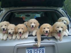 Фотоподборка (200 фото)= I wonder if this means they are for sale???: Car, Animals, Puppies, Dogs, Golden Retrievers, Pets, Puppys, Friend