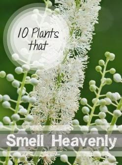 10 Heavenly Smelling Plants for Your Yard- Plants that smell delicious that are perfect for your yard and garden...: Yard Plants, 10 Plants, Smell Heavenly, Gardens, 10 Heavenly, Smelling Plants