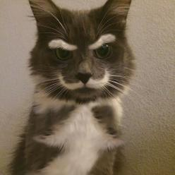 22 Cats With The Most Beautiful And Unique Coat Patterns In The World: Cats, Animals, Stuff, Funny Cat, Pet, Crazy Cat, Funny Animal, Mustache, Kitty