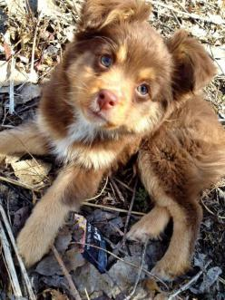 23 Adorable Babies That Will Melt Even The Stoniest Heart: Australian Shepard, Animals, Dogs, Stoniest Heart, Adorable Babies, Baby Animal, Mini Australian Shepherd, 23 Adorable