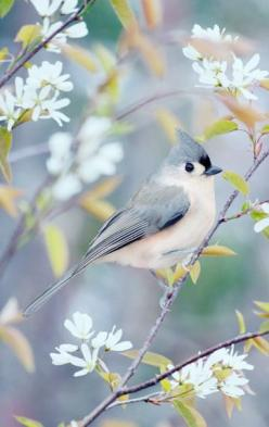 """""""Tufted Titmouse in Spring"""" by Allison Trentelman: Tufted Titmouse, Beautiful Birds, Spring, Tuftedtitmouse, Bird Photography, Animal"""