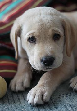 """Yellow Labrador Retriever Puppy"" ---- [Photographer Kamila  Shakhzadaevna - February 5 2012]'h4d'121203: Yellow Labrador Retriever, Animals, Dogs, Pet, Puppy Dog Eyes, Puppys"