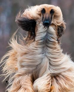 798249_10200446535194734_1181199187_o.jpg 1 638 × 2 048 bildepunkter  ChristonEnchanted: Beautiful Afghan, Dogs Afghan Hounds, Dogs Afghans, Afghans Hounds, Afghan Dogs, Animals Dogs, Pet, Hair