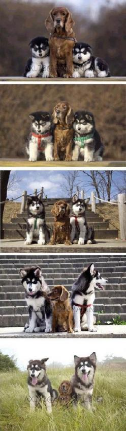 A small, brown dog with two husky pups getting their portraits taken together over time.: Animals, Dogs, Best Friends, So Cute, Pet, Growing Up, Husky, Puppy