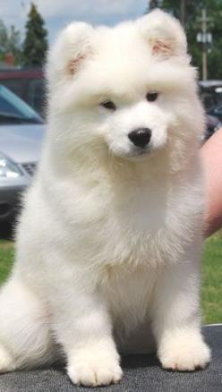 Adorable cute Samoyed dog... click on picture to see more: Animals, Dogs, Samoyed Puppies, Samoyed Puppy, Pet