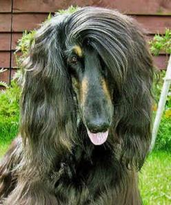 Afghan+Dog | Channel 4 news - another soldier shooting a dog ... P**s me off big ...: Diva Dogs, Afghans, Funny Dogs, Afghan Dogs, Better Hairstyles, Dog Haircuts