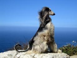 Afghan hound in the wind!: Beautiful Afghan, Afghan Angel, Afghans Hounds, Animal Afghan, Animal Cuteness, Animals Dogs Afghans, Afghan Dog, Deco Dogs